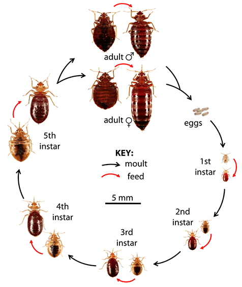 lifecycle chart of bed bugs