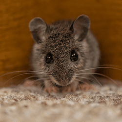 mouse in living room